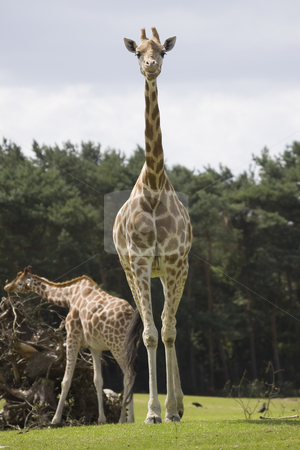 Rothschild Giraffe stock photo, Tall rothschild giraffe walking towards the camera by Inge Schepers