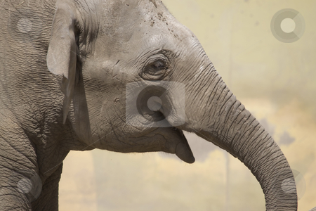 Elephant Portrait stock photo, Portrait of an elephant by Inge Schepers