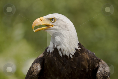 Bald Eagle Portrait stock photo, Portrait of an adult Bald Eagle by Inge Schepers