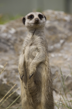 Meerkat stock photo, The wellknown pose of a meerkat, standing on its hind legs by Inge Schepers
