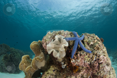 Sea Star and Coralhead Landscape stock photo, Blue Sea Star (Linckia laevigata) on a coral head underwater with the partly cloudy sky visible above the water's surface. by A Cotton Photo