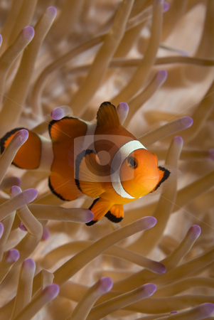 False Clown Fish stock photo, A False Clown Fish (Amphiprion ocellaris) in it's home anemone (Heteractis magnifica) in the oceans of the Philippines. by A Cotton Photo