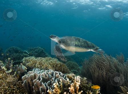Swimming Turtle Reefscape stock photo, A Green Sea Turtle (Chelonia mydas) swims along a Philippine reef with the ripples from the ocean surface above by A Cotton Photo