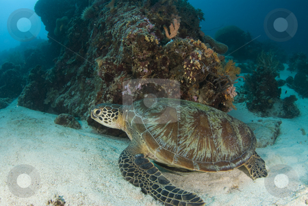Lounging Sea Turtle stock photo, A Green Sea Turtle (Chelonia mydas) lounges on the ocean bottom protected by a coral outcropping by A Cotton Photo