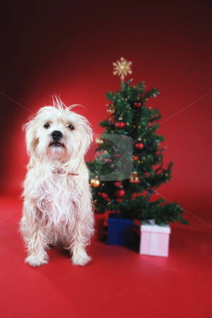 Dog next to Christmas tree stock photo, Dog next to Christmas tree on red by Damien Richard