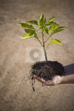 Small tree in small hands stock photo, Small tree in a childs hands illustrating that the environments future is in our children's hands by Jandrie Lombard