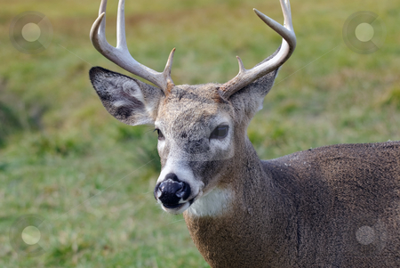 Whitetail deer stock photo, Portrait of a nice youg whitetail buck by Alain Turgeon