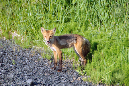 Red Fox stock photo, Picture of a skinny Red Fox on the side of the road by Alain Turgeon