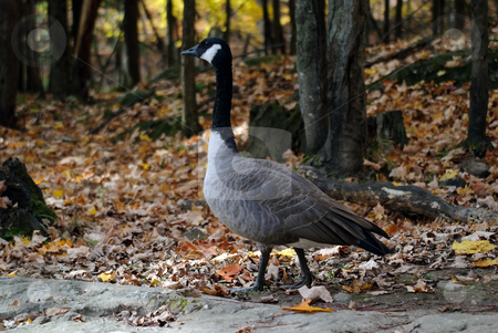 Canada Goose stock photo, Picture of a Canada Goose in a forest in Autumn by Alain Turgeon