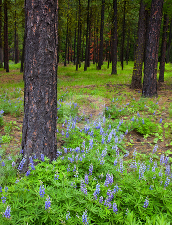 Lupine Forest stock photo, Lupine blankets the forest floor in Washington Cascades by Mike Dawson