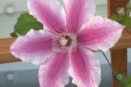 Clematis Carnaby stock photo,  by Heather Shelley