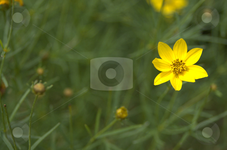Threadleaf Coreopsis stock photo,  by Heather Shelley