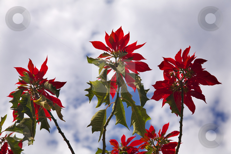 Red Poinsettia Tree Against Blue Sky Morelia Mexico stock photo, Red Poinsettia Tree Against Blue Sky Morelia Mexico.  Poinsettias in their natural setting in Mexico grow like trees. by William Perry