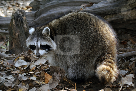 Raccoon stock photo, Picture of a wild raccoon in it's natural environment by Alain Turgeon