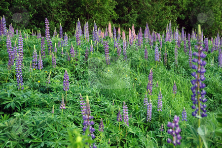 Wild Lupines stock photo, Field of wild lupines growing in a Northern forest by Alain Turgeon