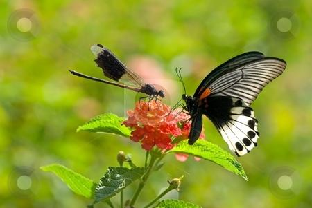 Damselfly hostile to butterfly stock photo, Get out my territory, damselfly hostile to butterfly by Lawren