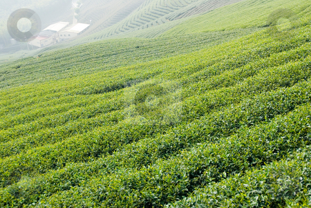 Tea trees on hill stock photo, Full of tea trees on hill, asia by Lawren