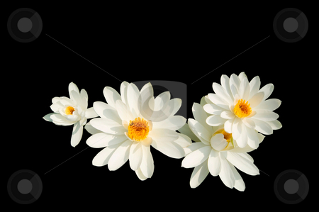 Isolated white lotus stock photo, Isolated white lotus on black background by Lawren