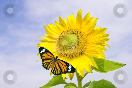 Sunflower and orange butterfly stock photo, Sunflower and orange butterfly under cloudy blue sky by Lawren