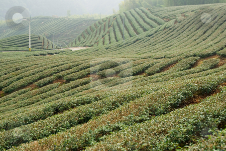 Tea trees on hill stock photo, Tea farm in asia, Taiwan by Lawren