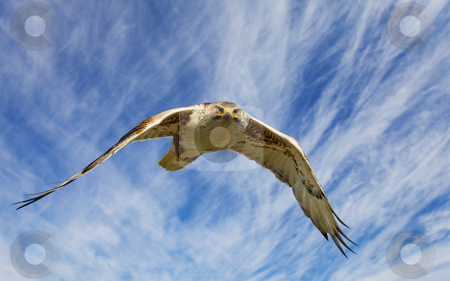 Ferruginous flight stock photo, A large hawk in flight staring at the camera by Steve Mcsweeny