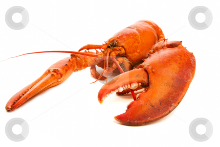 Lobster cooked stock photo, Large red lobster on a white background by Steve Mcsweeny