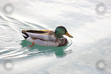 Swimming Duck stock photo, Male Duck swimming in a lake by Ervin Monn