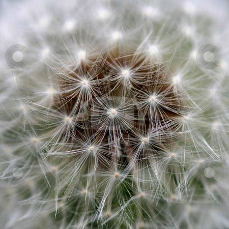 Wind Dandelion stock photo, Close view of a wind dandelion by Ervin Monn