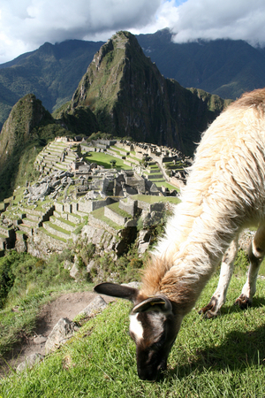 Lama Grazing Above Machu Picchu stock photo, A lama grazing above Machu Picchu in Peru by Philip Muller