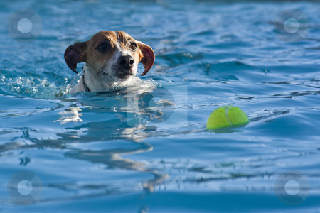 Chasing a Ball stock photo, A jack russell terrier swimming after a tennis ball in the pool by Patrick Noonan