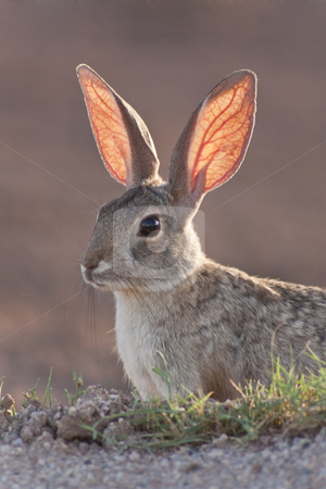 Cottontail Rabbit stock photo, An alert cottontail rabbit backlit by the sunset by Patrick Noonan