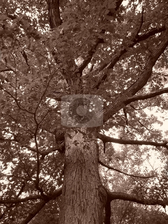 Ancient Oak stock photo, Large ancient oak tree in sepia, shot from the base of the trunk. by Rebecca Ledford