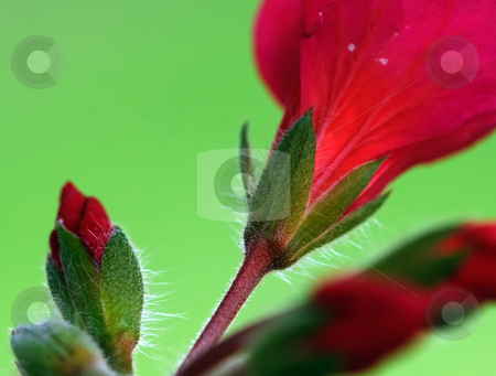 Red flowers stock photo, Closeup picture of some red flowers blooming by Alain Turgeon