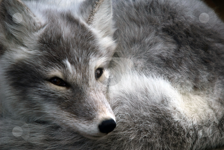 Arctic Fox stock photo, Close-up portrait of an Arctic Fox while he is sleeping by Alain Turgeon