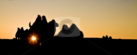 Camel herd stock photo, A camel herd contour with sun glowing by Mircea Struteanu