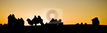 Camel herd stock photo, A camel herd contour at dusk resting by Mircea Struteanu