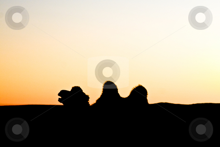 Lonely camel  stock photo, The contour of a lonely camel at dusk by Mircea Struteanu