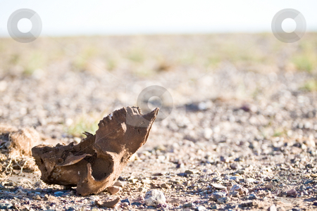Desert skull stock photo, A skull in the Gobi Desert laying in the sun by Mircea Struteanu