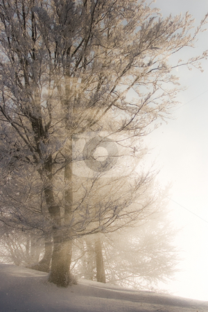 Winter light stock photo, Sun rays through trees with snow by Mircea Struteanu