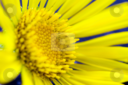 Spring yellow flower stock photo, A macro shot of a spring yellow flower by Hieng Ling Tie