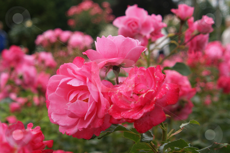 Pink blooming roses in Rose Garden stock photo, Rosarote bl???hende Rosen in Rosengarten / pink blooming roses in Rose Garden by Thomas K?