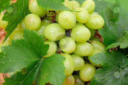 Green Grape Closeup stock photo, Closeup of a bunch of seedless grapes and grapevine by Lynn Bendickson