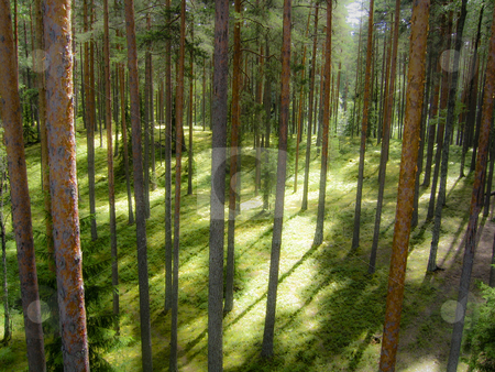 Enchanted forest stock photo, Dreamy pine forest in South Estonia by Alessandro Rizzolli