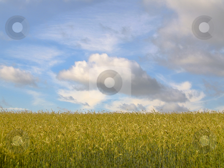 Corn field against the blue sky stock photo, Shot of the rural landscape of South East Estonia by Alessandro Rizzolli