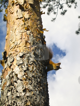 Red squirrel on a tree stock photo, A red squirrel on a tree in the natural reserve of Meenikunno in Estonia by Alessandro Rizzolli