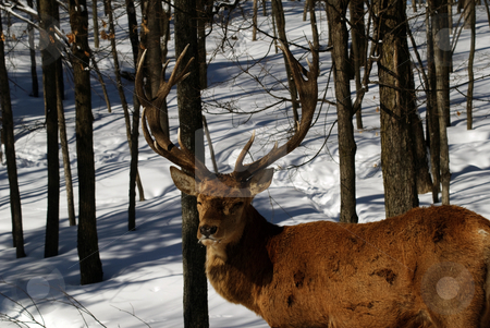 Elk stock photo, Wild elks in winter by Alain Turgeon