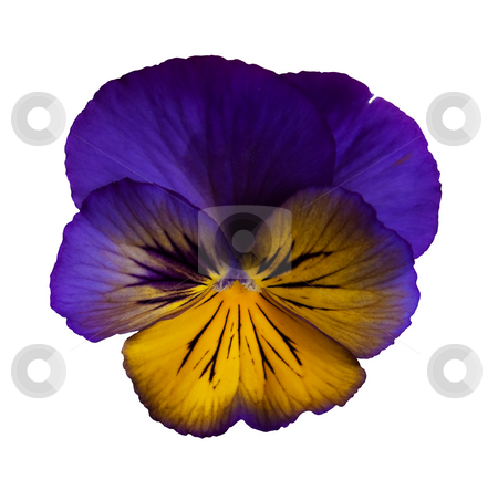 Frilly Purple Pansy stock photo, A frilly, dark purple and yellow pansy on a white background. by Brenda Carson