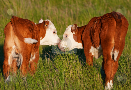 Kissing Calves stock photo, Two baby calves touch noses and lick each other affectionately.  Shot in early evening light (golden hour). by Brenda Carson