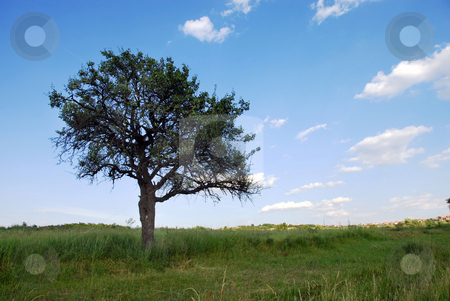 Lonely tree stock photo, Lonely tree over blue sky on green meadow by Julija Sapic