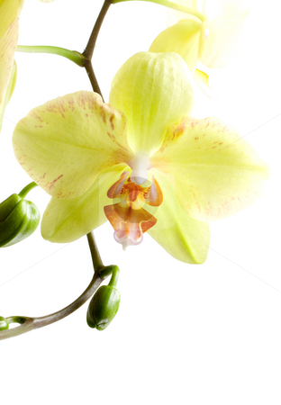 Yellow Orchid stock photo, Yellow orchid isolated on white background by Alexander Zschach